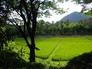 This picture shows a rice field from a local organic farm. Never seen such a green place before!